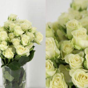rosas blancas de pitimini
